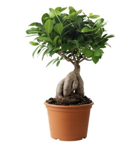 Check These 6 Facts About Bonsai Before Planting Them in Your Home