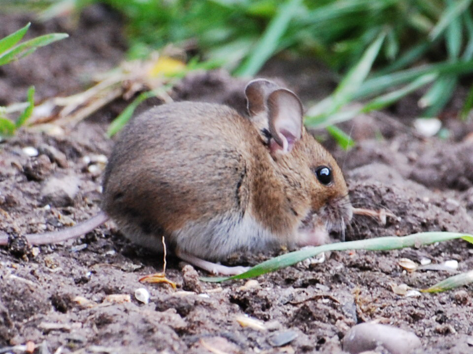 Is your garden mice infested?