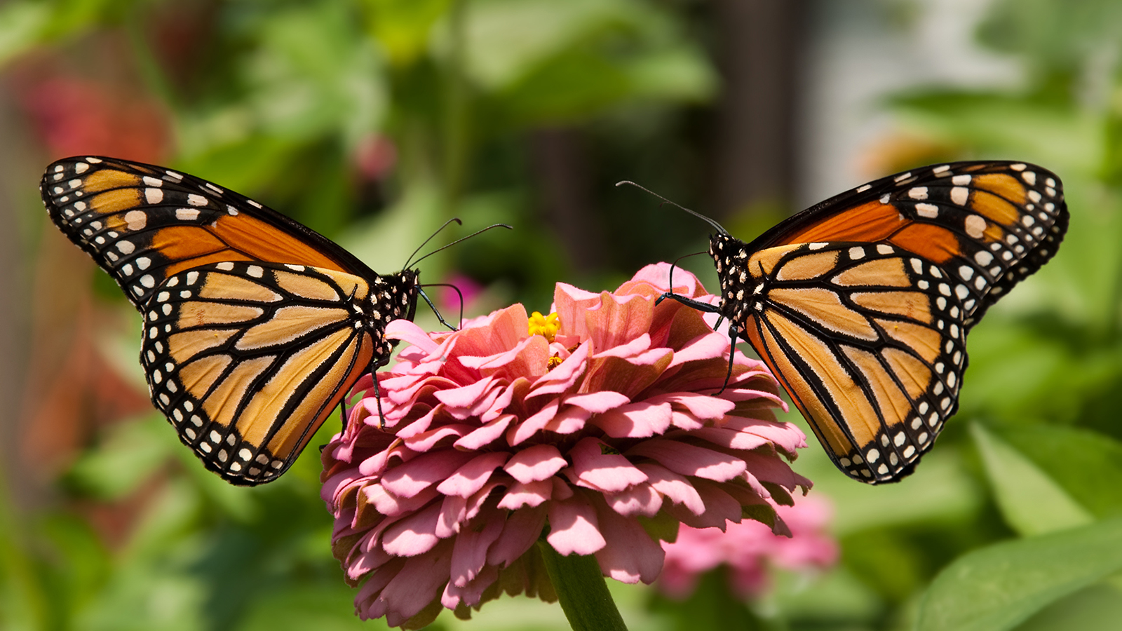 Reviving The Monarch Population: How can we help the Monarch?