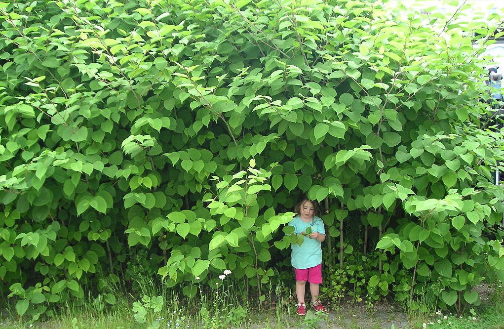 Things You Should Know About Japanese Knotweed Eradication