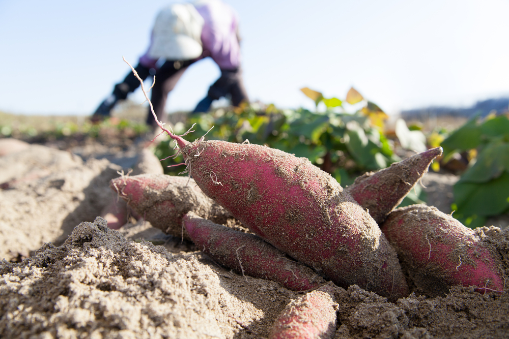 Sweet potatoes can be harvested once the vines turn to yellow color.